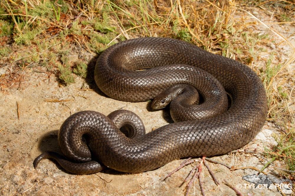 Pseudaspis cana _Mole_Snake