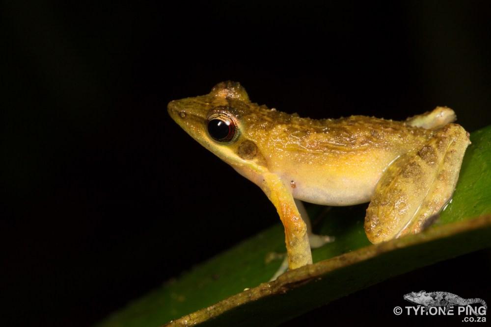 Natalobatrachus bonebergi_ Tyrone Ping