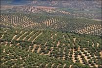 Jaen - Olive Trees