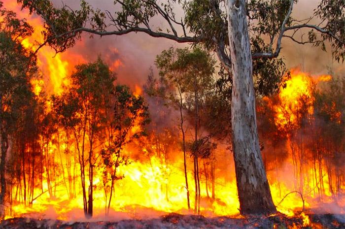 eucalypt-in-fire