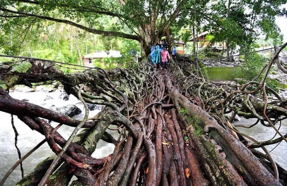 جسر شيدته جذور الأشجار في اندونيسيا