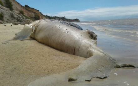 Baleia foi encontrada morta em praia (Foto: Kassio Freita/Portal Sulbaiano)