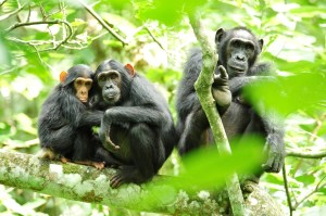Chimpanzees in the park