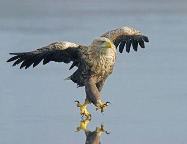 vultur pe apa