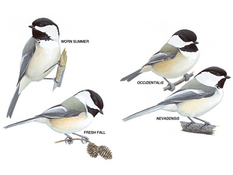 Drawings of black-capped chickadees with different plumage
