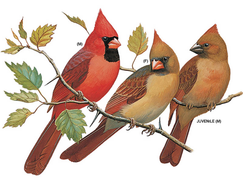 Drawing of male, female and immature cardinals