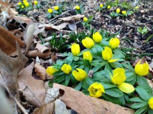 Winter Aconite at the Library