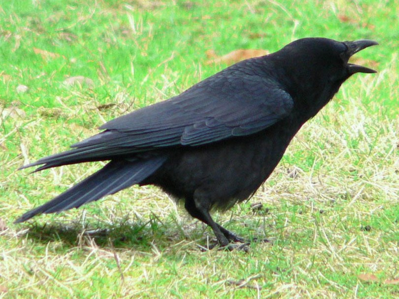 American crow on the ground