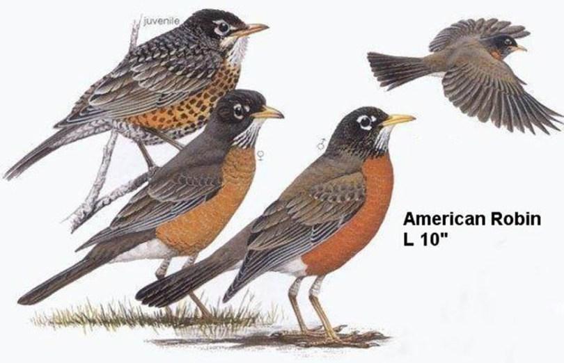 Drawings of American robins