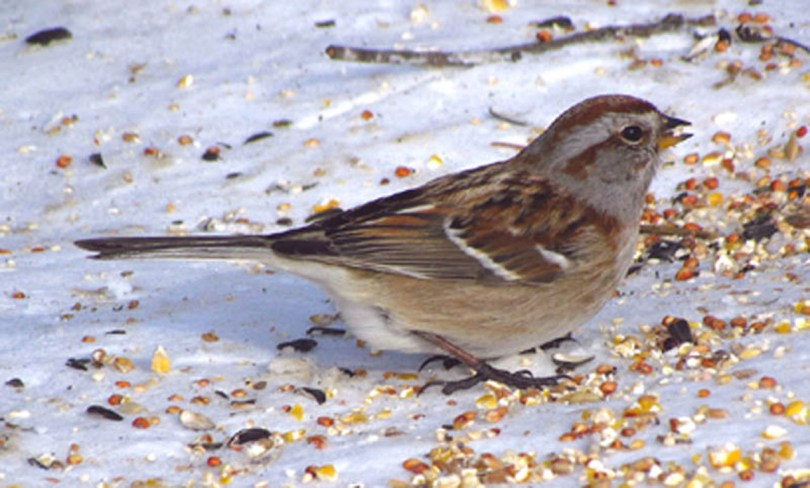 American tree sparrow eating bird seed on the ground