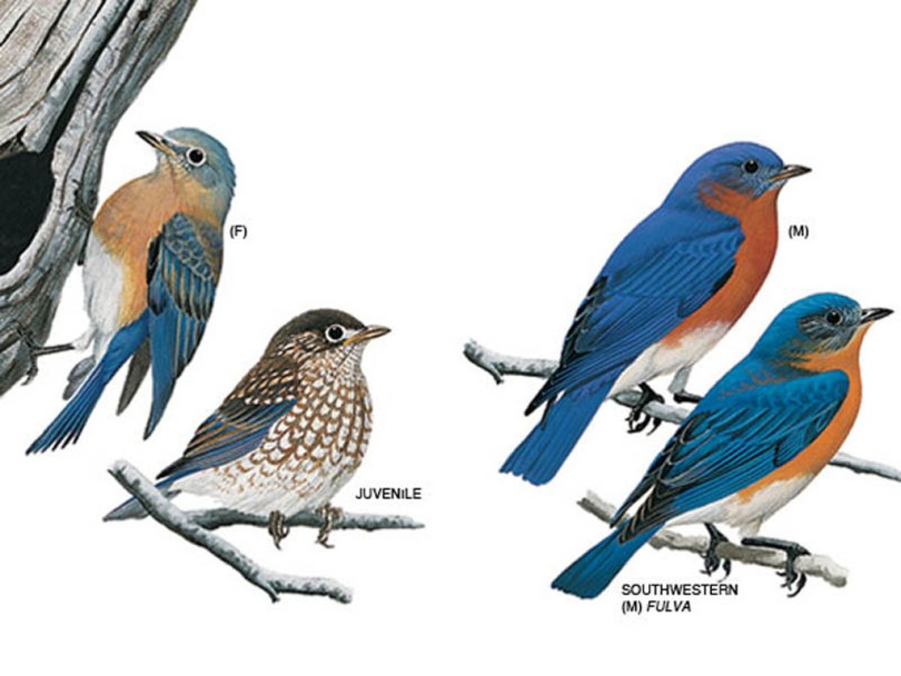 Drawings of bluebirds