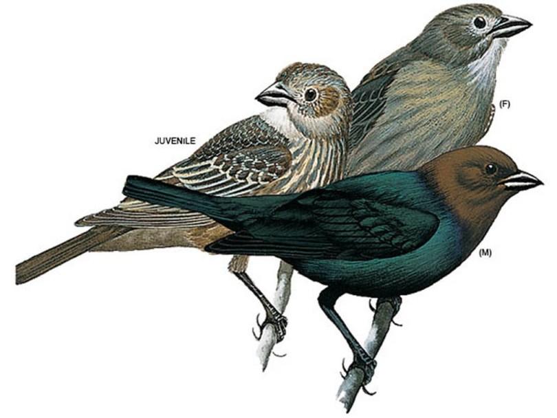 Drawings of brown-headed cowbirds