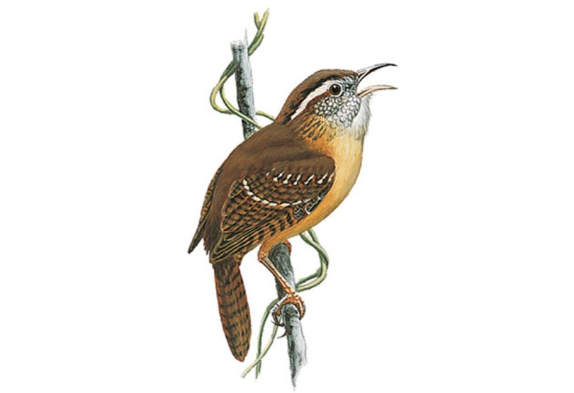 Drawing of a Carolina wren