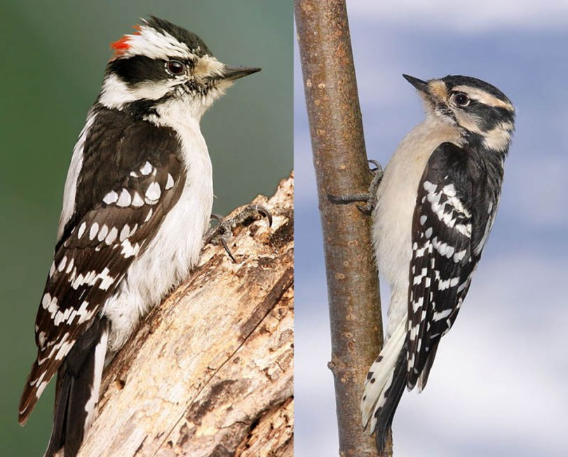 Male and female Downy woodpeckers