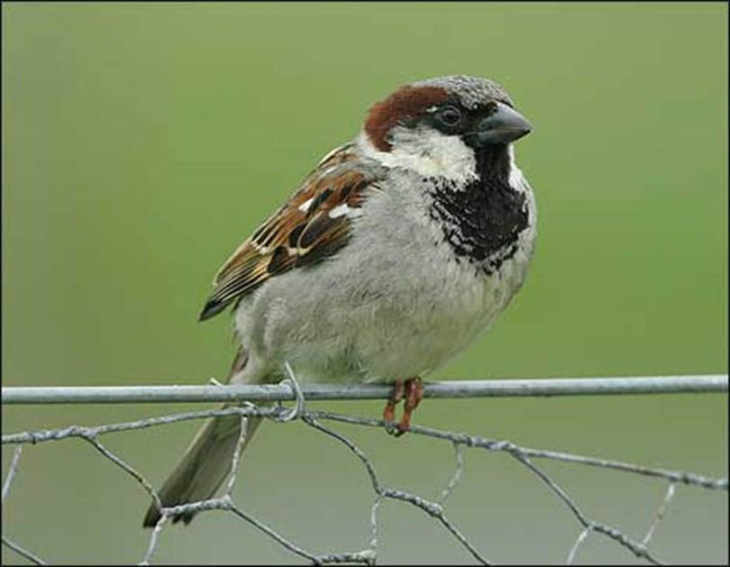Male house sparrow on a fence