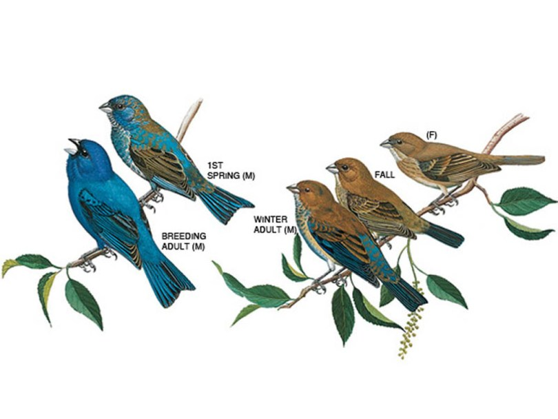 Drawings of indigo buntings