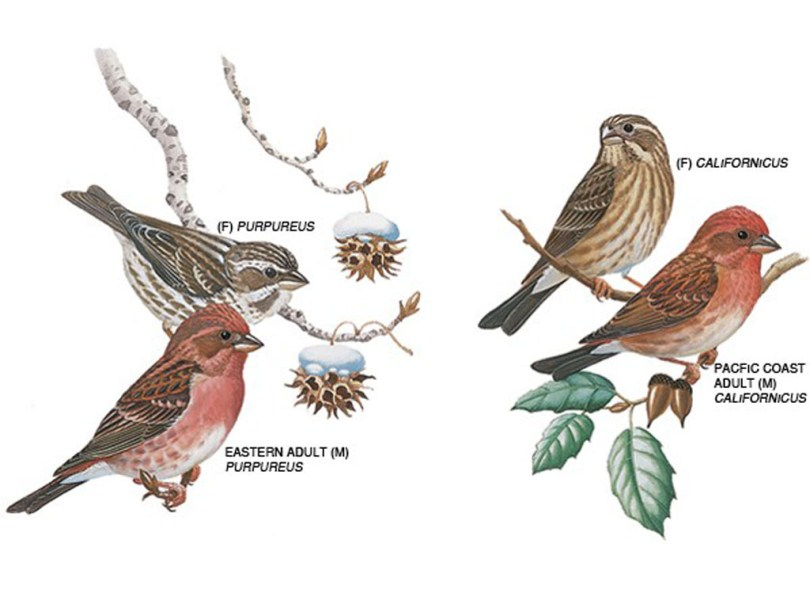 Drawings of purple finches