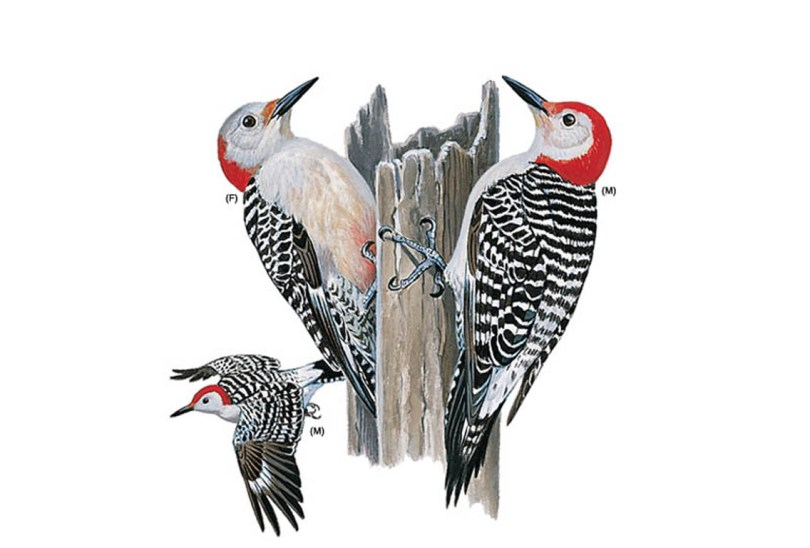 Drawings of red-bellied woodpeckers
