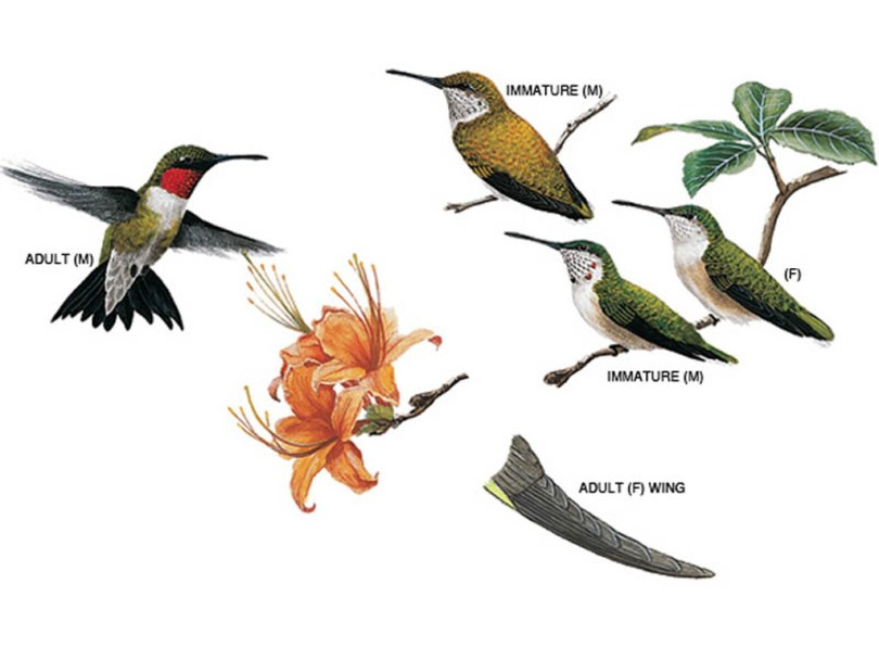 Drawings of ruby-throated hummingbirds