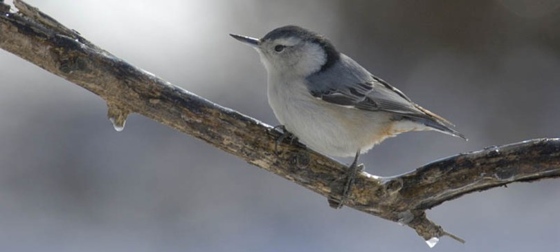 White-breasted nuthatch on a branch