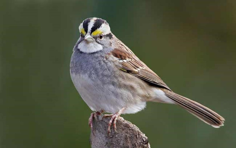 White-throated sparrow perched on a stump