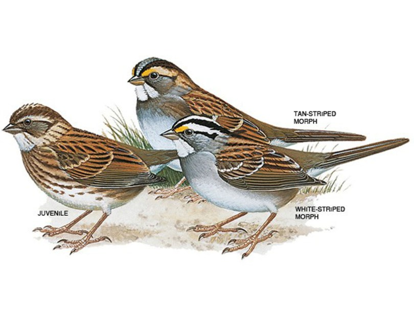 Drawings of white-throated sparrows