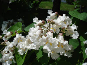 Northern Catalpa flowers - trumpet-shaped, white with yellow stripes and purple spots