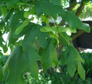 Hedge maple leaves