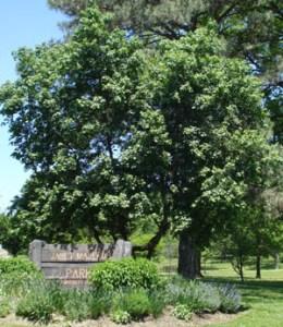 Hedge maple tree