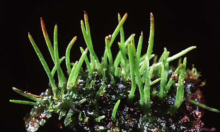 Hornworts