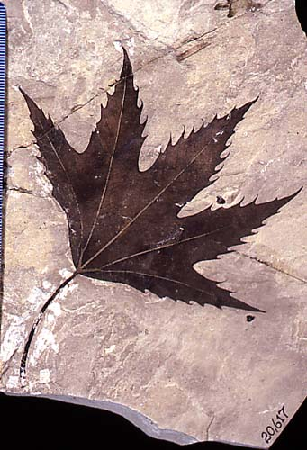 Fossilized Sycamore from the Green River Oil Shale