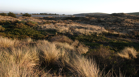 Invasive marram grass from Europe has displaced native plants and animals at Bodega Marine Reserve. Image credit: Lobsang Wangdu