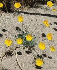 Eschscholzia androuxii is is found mainly in and around Joshua Tree National Park in Riverside and San Bernardino counties.  Image credit: Shannon Still