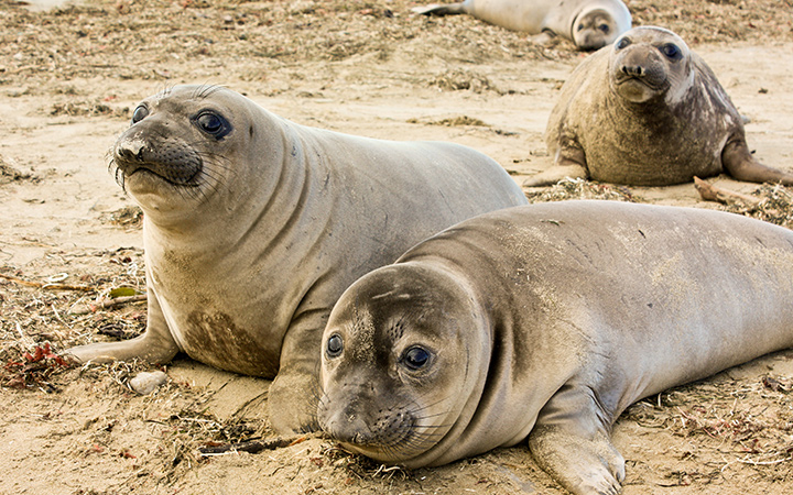 Weaned elephant seal