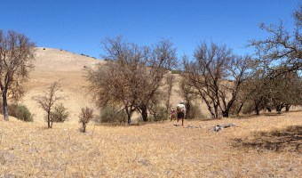 Drought dealt death to California oaks