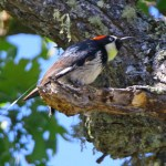 Solar tags illuminate woodpecker ways