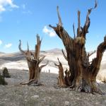 Earth's oldest trees losing climate race