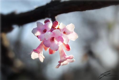 pink tree flower