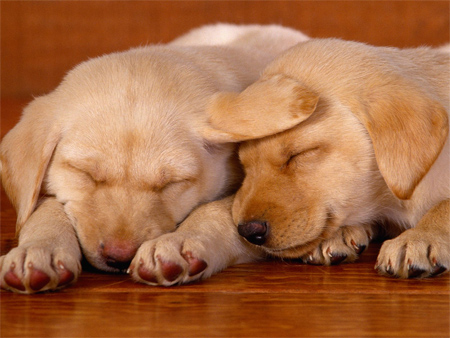 Two Yellow Labrador Puppies Sleeping Together