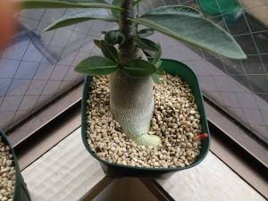 アデニウムの地下で根が育ってる!
