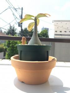 アデニウム植え替え(その1)