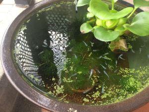 睡蓮鉢里山ビオトープ