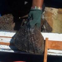 Estudio y evaluación de la pesquería de callo de hacha (Atrina tuberculosa) en la Región de Bahía de Kino, Sonora y Recomendaciones para su Manejo