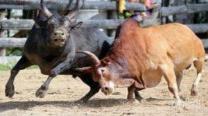 วัวชนufabet