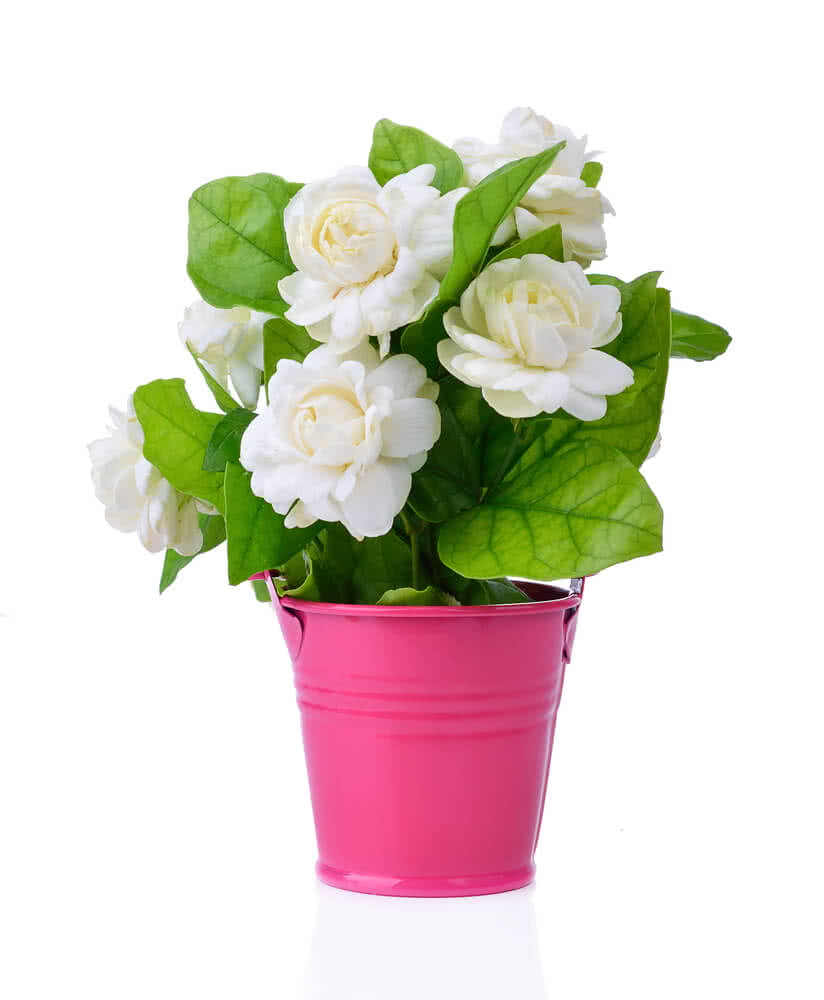 Arabian jasmine dont forget to live your life it is the national flower of the philippines where it is known as sampaguita as well as being one of the three national flowers of indonesia izmirmasajfo