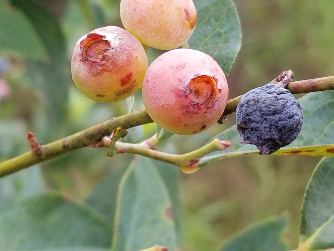 Mummy Berry is a disease that can be controlled easily by home gardeners.