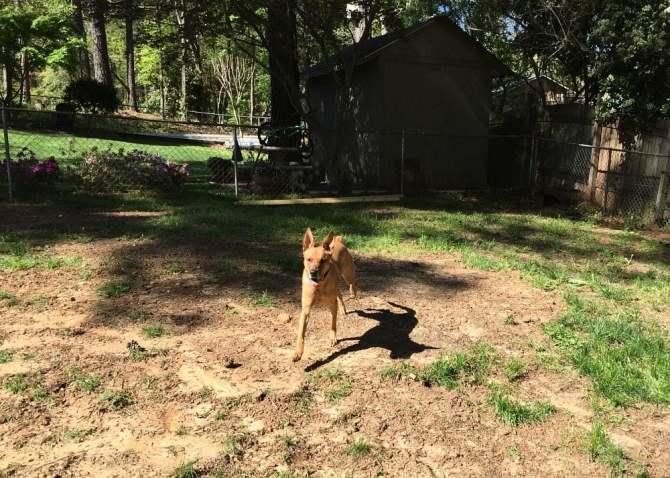 Charlie running through the backyard unencumbered