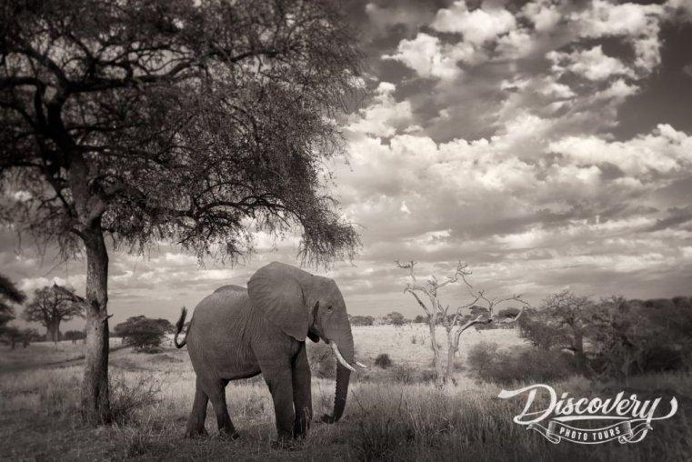 Elephant under acacia tree, Tanzania VIP Photo Safari