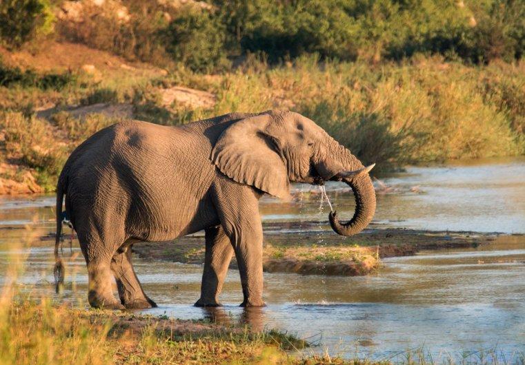 Thirsty elephant at sunrise