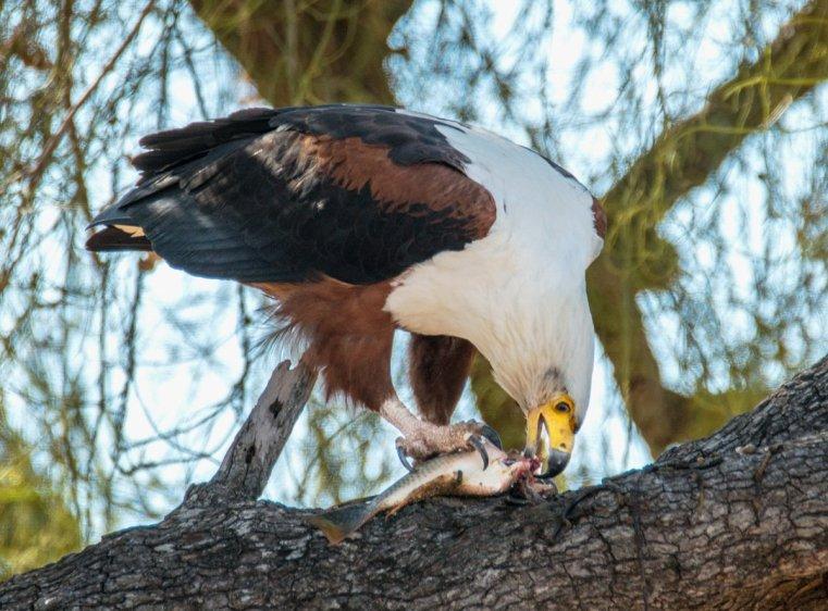 Fish eagle eating a fish